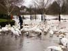 Photograph  Worcester Swans